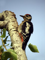 Veliki_detel_Great_spotted_woodpecker_04.jpg