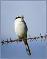 Veliki_srakoper_Great_grey_shrike_01.jpg