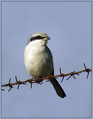 Veliki_srakoper_Great_grey_shrike_02.jpg
