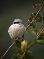 Veliki_srakoper_Great_grey_shrike_04.jpg