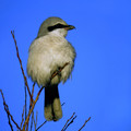 Veliki_srakoper_Great_grey_shrike_06.jpg