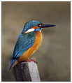 Vodomec_Kingfisher_08.jpg
