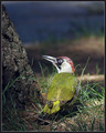 Zelena_zolna_Green_woodpecker_02.jpg