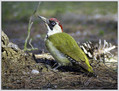 Zelena_zolna_Green_woodpecker_03.jpg