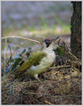 Zelena_zolna_Green_woodpecker_04.jpg