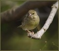Zelenec_Greenfinch_03.jpg