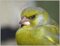 Zelenec_Greenfinch_04.jpg