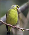 Zelenec_Greenfinch_06.jpg