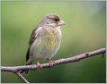 Zelenec_Greenfinch_07.jpg