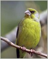 Zelenec_Greenfinch_10.jpg