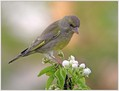 Zelenec_Greenfinch_11.jpg