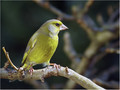 Zelenec_Greenfinch_12.jpg