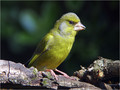 Zelenec_Greenfinch_13.jpg