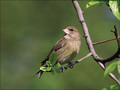 Zelenec_Greenfinch_14.jpg