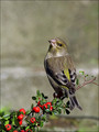 Zelenec_Greenfinch_16.jpg