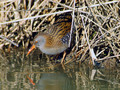 Mokoz_Water_rail_06.jpg