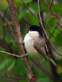 Gorska_sinica_Willow_tit_01.jpg
