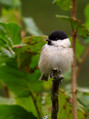 Gorska_sinica_Willow_tit_02.jpg
