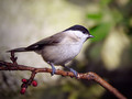 Gorska_sinica_Willow_tit_03.jpg
