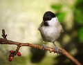 Gorska_sinica_Willow_tit_04.jpg