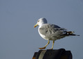 Rumenonogi_galeb_Yellow_legged_gull_03.jpg