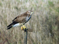 Kanja_Common_buzzard_Buteo_buteo_04.jpg