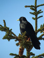 Planinska_kavka_Alpine_chough_Pyrrhocorax_graculus_03.jpg