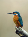 Vodomec_Kingfisher_12.jpg