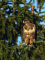 Kanja_Common_buzzard_Buteo_buteo_06.jpg