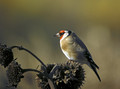 Liscek_Goldfinch_06.jpg