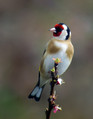 Liscek_Goldfinch_07.jpg