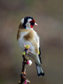 Liscek_Goldfinch_08.jpg