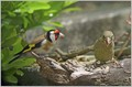 Liscek_Goldfinch_09.jpg