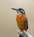 Vodomec_Kingfisher_13.jpg
