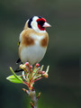 Liscek_Goldfinch_10.jpg
