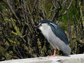 Kvakac_Night_heron_04.jpg