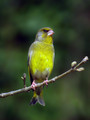 Zelenec_Greenfinch_17.jpg