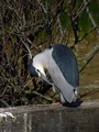 Kvakac_Night_heron_06.jpg