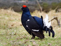 Rusevec_Black_grouse_05.jpg