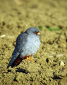 Rdecenoga_postovka_Red_footed_falcon_Falco_vespertinus_Sokoli_Falconidae_02.jpg