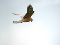 Rdecenoga_postovka_Red_footed_falcon_Falco_vespertinus_Sokoli_Falconidae_05.jpg