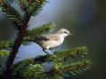 Mlinarcek_Lesser_whitethroat_02.jpg