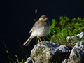 Bela_pastirica_Pied_wagtail_07.jpg