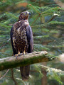 Srsenar_Honey_buzzard_Pernis_apivorus_Accipitridae_01.jpg