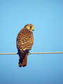 Navadna_postovka_Common_kestrel_05.jpg