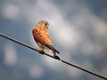 Navadna_postovka_Common_kestrel_07.jpg