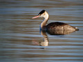 Copasti_ponirek_Great_crested_grebe_06.jpg