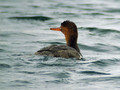 Read breasted merganser