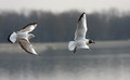 Recni_galeb_Black_headed_gull_05.jpg