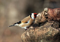 Liscek_Goldfinch_11.jpg